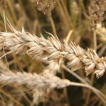 13. Avena sativa {oat} freeimages.com