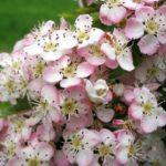 25. Crataegus {hawthorn-blossom} (freeimages.com)