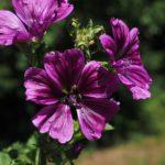 46. Malva sylvestris {wild-mallow} pixabay