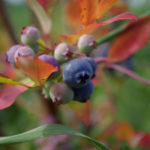 73. Vaccinium myrtillus (freeimages.com)