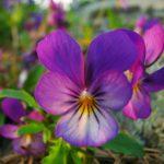 75. Viola tricolor {wild-pansy} -Pixabay