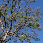 80. Azadirachta indica {tree}-Pixabay