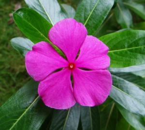 84. Catharanthus roseus {periwinkle}-Pixabay