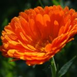 18. Calendula officinalis