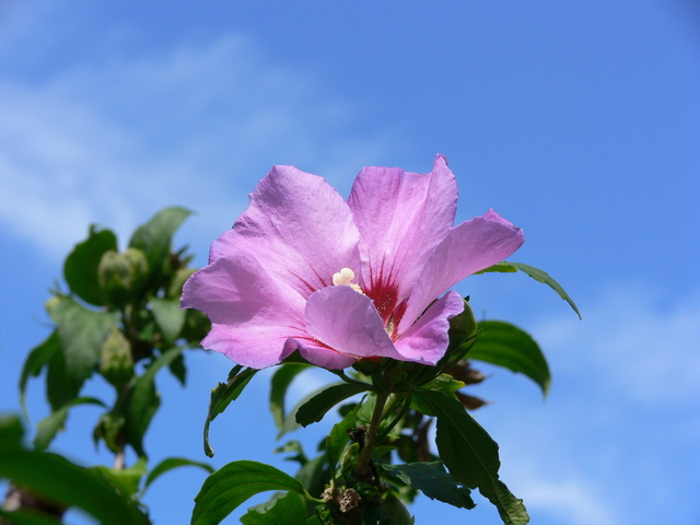 46. Malva sylvestris {mallow}-Freeimages.com